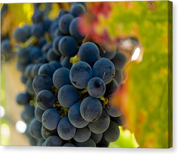 Grapes On The Vine Canvas Print by Bill Gallagher