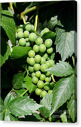 Grapes On The Vine Canvas Print by Carol Groenen