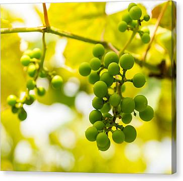 Grapes On The Vine - Finger Lakes Vineyard Canvas Print by Photographic Arts And Design Studio