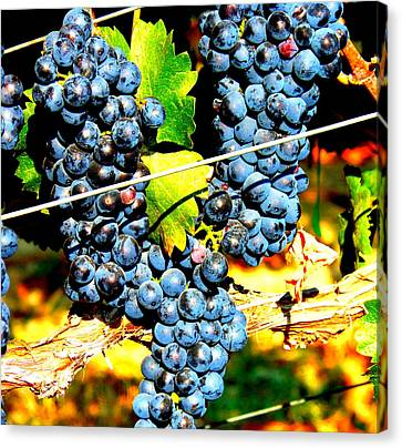 Grapes On The Vine Canvas Print by Kay Gilley