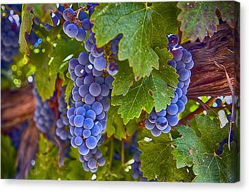 Grapes On The Vine Canvas Print by Rosanne Nitti