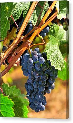 Grapes On Vine Canvas Print by Hella Zaiser