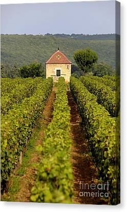Grapevines. Premier Cru Vineyard Between Pernand Vergelesses And Savigny Les Beaune. Burgundy. Franc Canvas Print by Bernard Jaubert