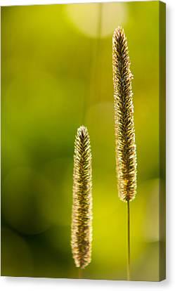 Grass Bokeh Canvas Print by Matt Dobson