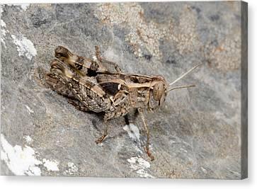 Grasshopper Calliptamus Barbarus Juvenile Canvas Print by Nigel Downer