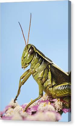 Grasshopper Close-up Canvas Print by Thomas Kitchin & Victoria Hurst