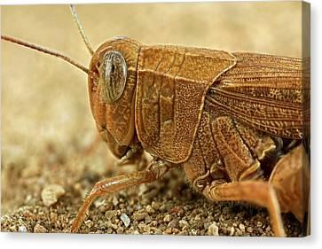 Grasshopper Canvas Print by Frank Fox