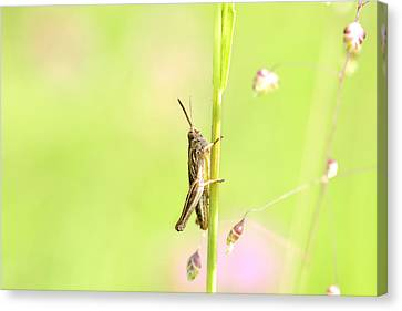 Grasshopper  Canvas Print by Toppart Sweden