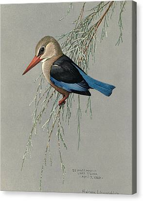Gray Headed Kingfisher Canvas Print by Louis Agassiz Fuertes