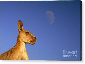 Gray Kangaroo Canvas Print by Mark Newman