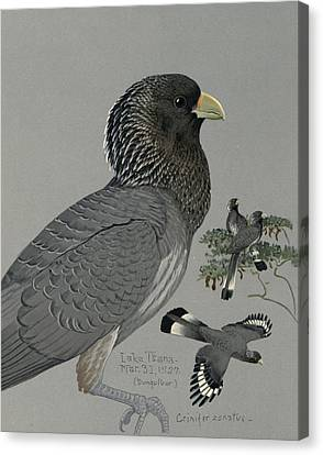 Gray Plantain Eater Canvas Print by Louis Agassiz Fuertes