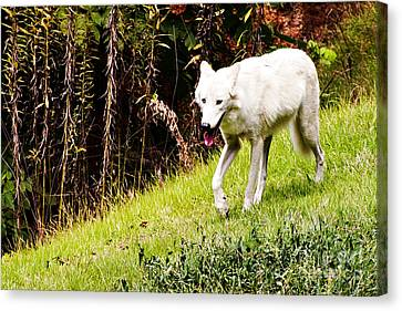 Gray Wolf Canvas Print by Walter Herrit