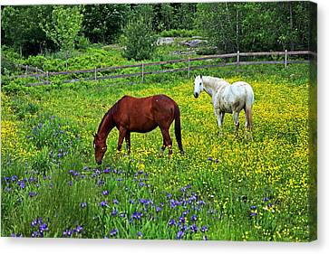 Grazing Amongst The Wildflowers Canvas Print by Karol Livote