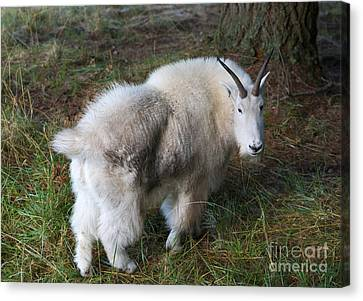 Grazing Mountain Goat Canvas Print by Mike Dawson