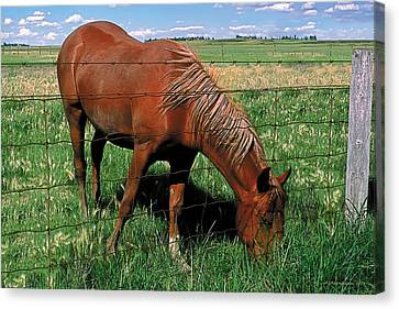 Grazing Canvas Print by Terry Reynoldson