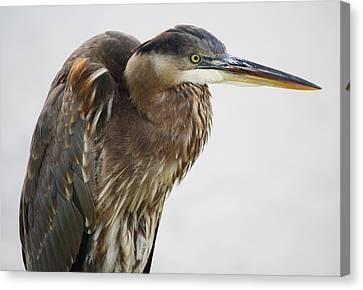 Great Blue Heron - # 14 Canvas Print by Paulette Thomas