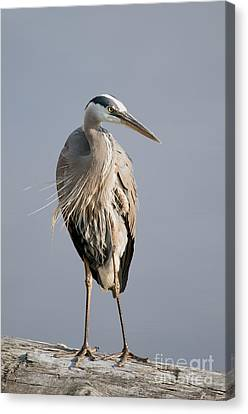 Great Blue Heron 2 Canvas Print by Sharon  Talson