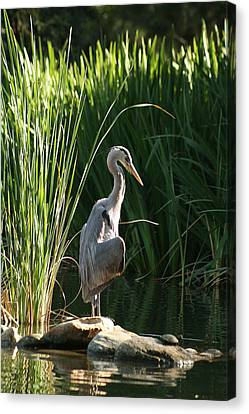 Great Blue Heron Canvas Print by Ellen Henneke