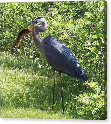 Great Blue Heron Grabs A Meal Canvas Print by Christina Shaskus