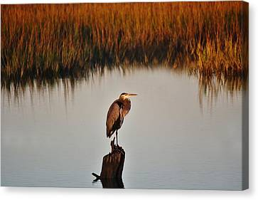 Great Blue Heron In The Marsh - # 20 Canvas Print by Paulette Thomas