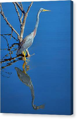 Tricolored Heron Canvas Print by Nikolyn McDonald