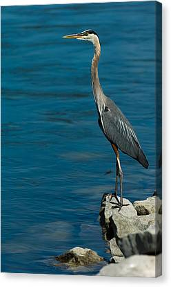 Great Blue Heron Canvas Print by Sebastian Musial