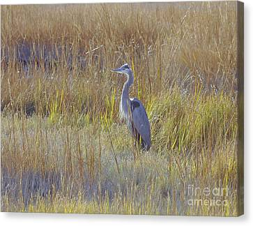 Great Blue Heron Standing Tall Canvas Print by Cindy Lee Longhini