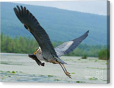 Great Blue Heron With Fish Canvas Print by Roger Bailey
