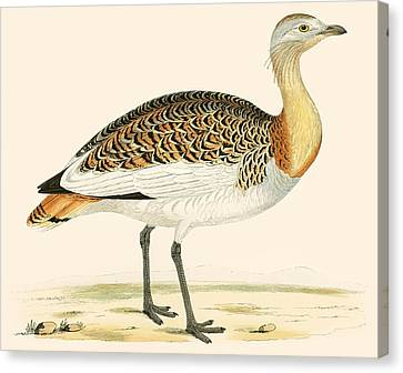 Great Bustard Canvas Print by Beverley R Morris