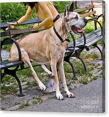 Great Dane Sitting On Park Bench Canvas Print by Madeline Ellis