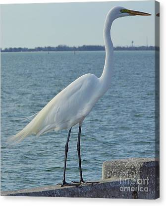 Great Egret At The Gulf Canvas Print by D Hackett