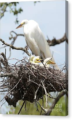 Great Egret Nest With Chicks And Mama Canvas Print by Carol Groenen