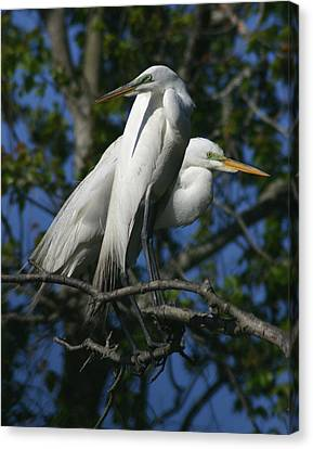 Great Egret Pair 11x14 Canvas Print by David Lynch