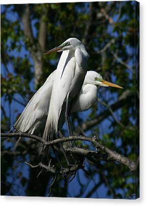Great Egret Pair 16x20 Canvas Print by David Lynch