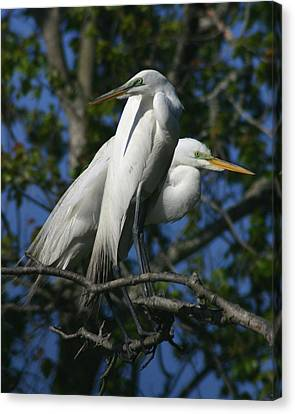 Great Egret Pair 8x10 Canvas Print by David Lynch
