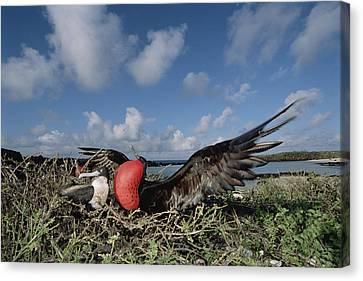 Great Frigatebird Female Eyes Courting Canvas Print by Tui De Roy