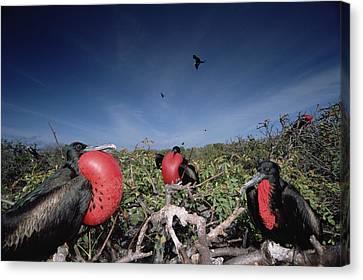 Great Frigatebird Males In Courtship Canvas Print by Tui De Roy