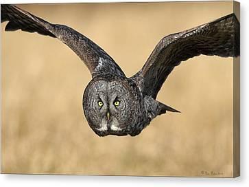 Great Gray Owl In Flight Canvas Print by Daniel Behm