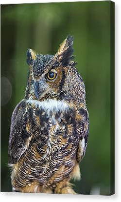 Great Horned Owl Canvas Print by Bill Tiepelman