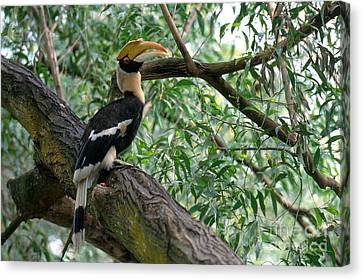 Great Indian Hornbill Canvas Print by Art Wolfe