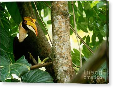 Great Pied Hornbill Canvas Print by Art Wolfe