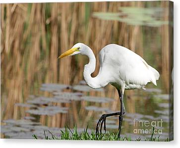 Great White Egret By The River Canvas Print by Sabrina L Ryan