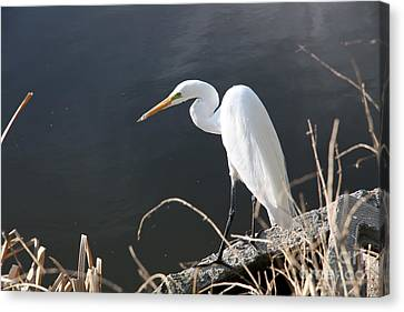 Great White Egret Canvas Print by Juan Romagosa