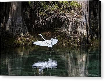 Great White Heron In Flight Canvas Print by Charles Warren