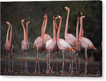 Greater Flamingo Group Courtship Dance Canvas Print by Tui De Roy