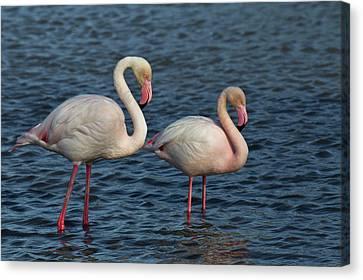 Greater Flamingo, Parc Ornithologique Canvas Print by Adam Jones