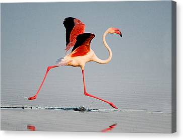 Greater Flamingo Phoenicopterus Roseus Canvas Print by Panoramic Images