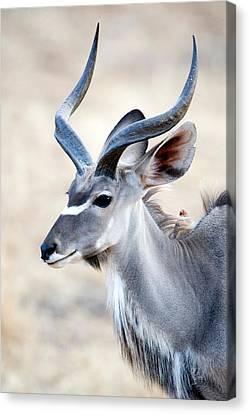 Greater Kudu Tragelaphus Strepsiceros Canvas Print by Panoramic Images