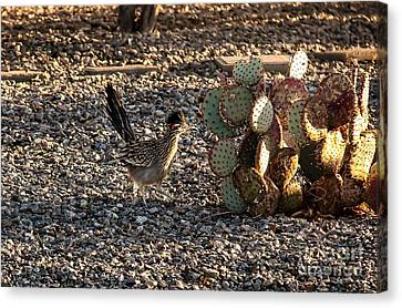 Greater Roadrunner Canvas Print by Robert Bales