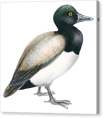 Greater Scaup Canvas Print by Anonymous